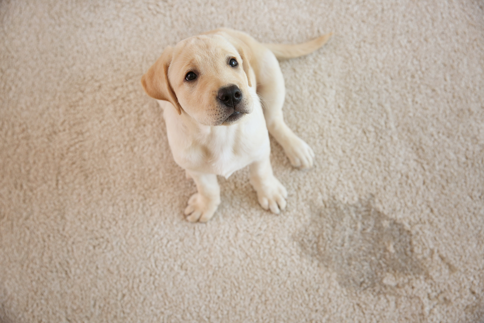 Springfield pet stain & odor removal